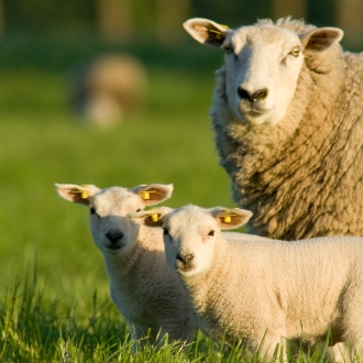 lamb fattening performances sheep nutrition diet additive solution